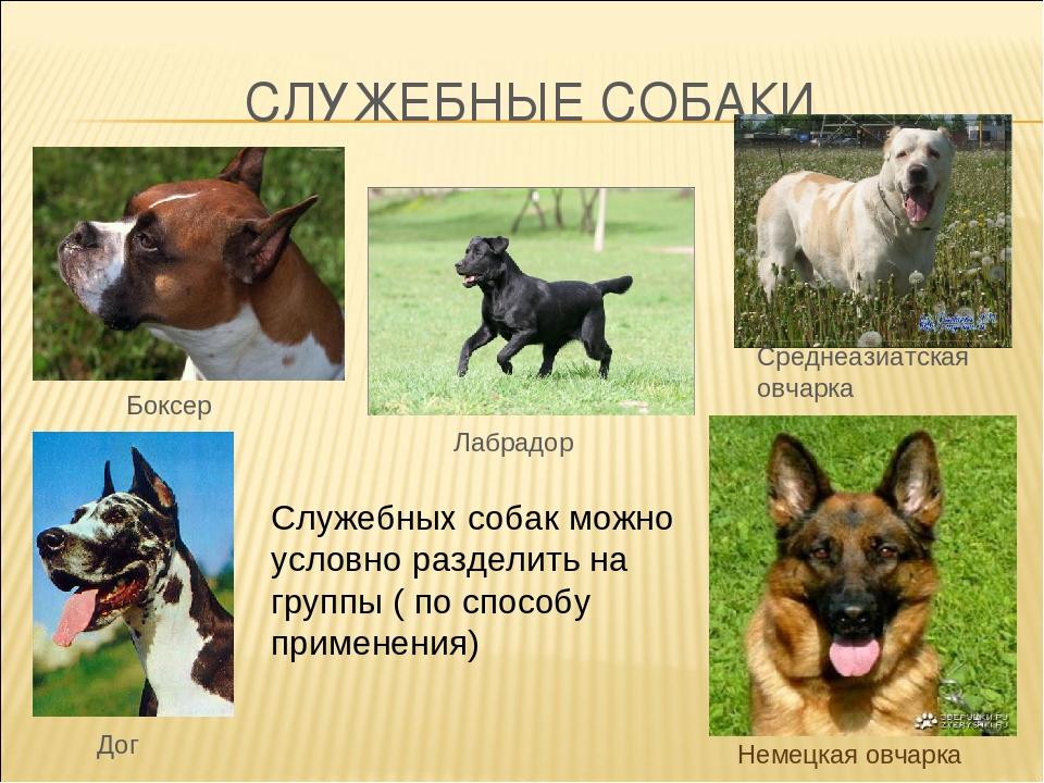 Лучшие служебные собаки. служебные собаки: породы :: syl.ru