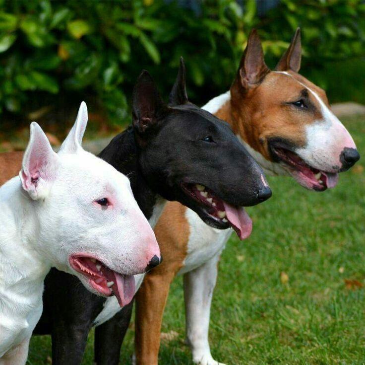 Мифы и правда о бойцовских породах собак
