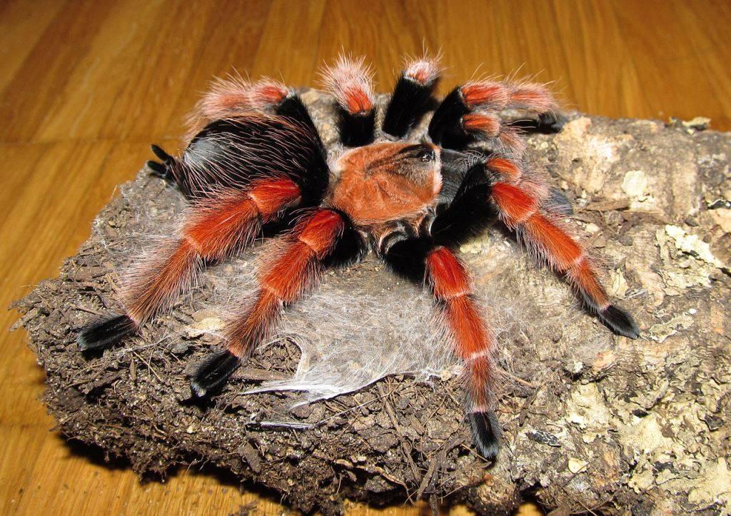 Паук птицеед - не прихотливый экзотический домашний питомец