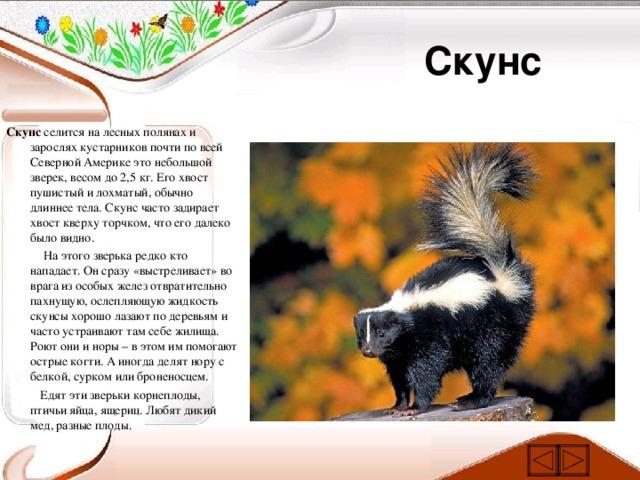 Скунсовые | описания и фото животных | некоммерческий учебно-познавательный интернет-портал зоогалактика