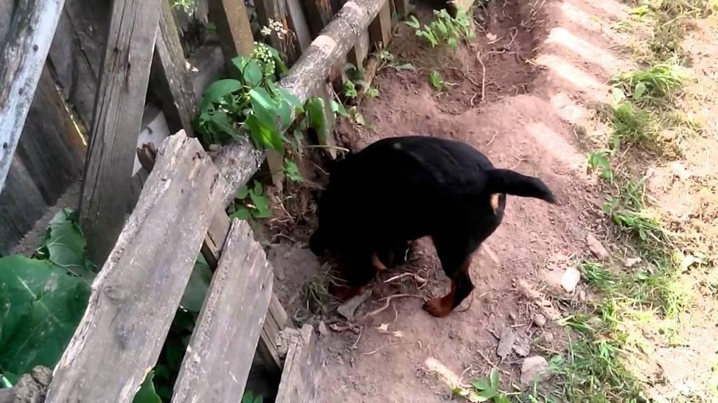 Как отучить собаку копать: 11 шагов (с иллюстрациями)