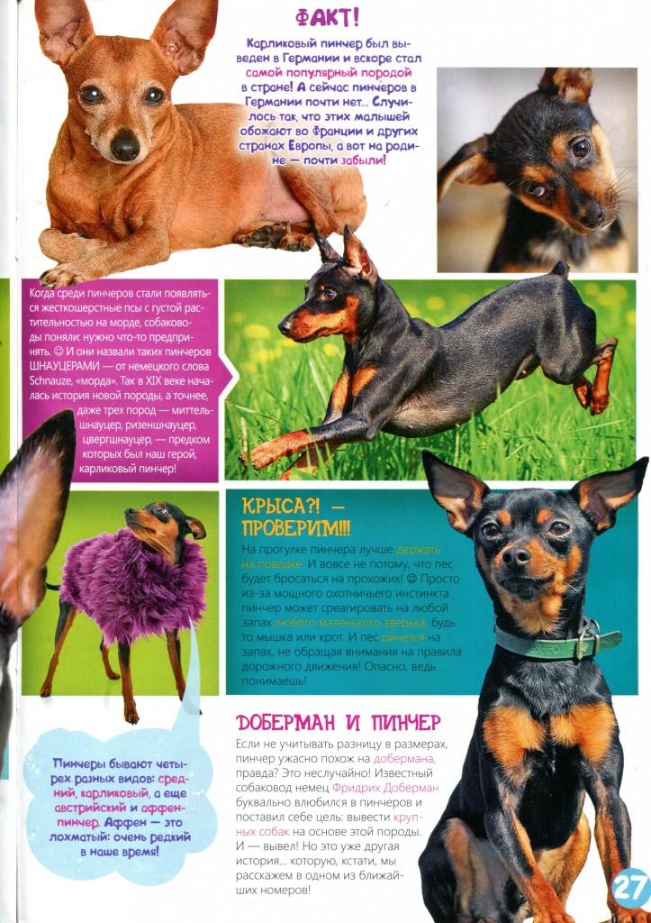 Цвергпинчеры (58 фото): описание породы карликовых пинчеров, характеристика щенков и взрослых особей, отзывы владельцев