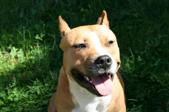 Американский стаффордширский терьер ???? фото, описание, характер, факты, плюсы, минусы собаки ✔