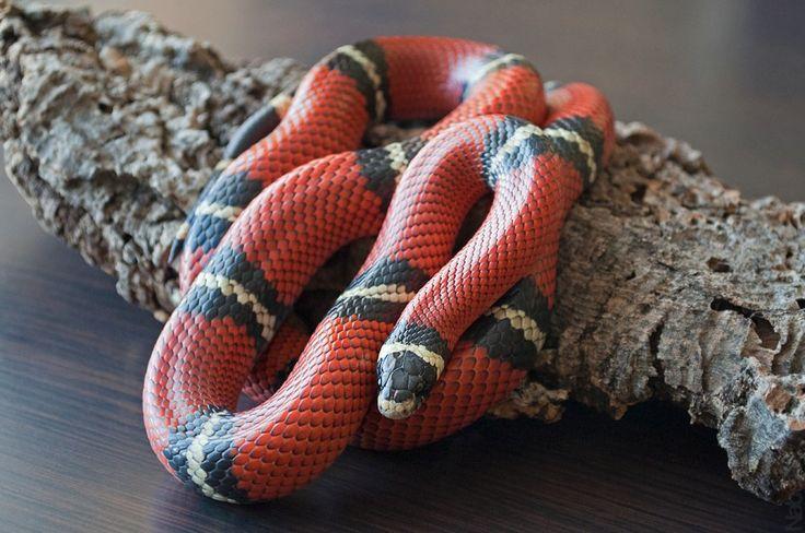 Чем кормить змей дома: рацион, корм, советы | главная