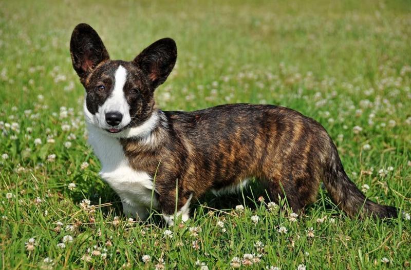 Вельш-корги: описание породы, фото, характеристика собаки, окрас, цена, щенки