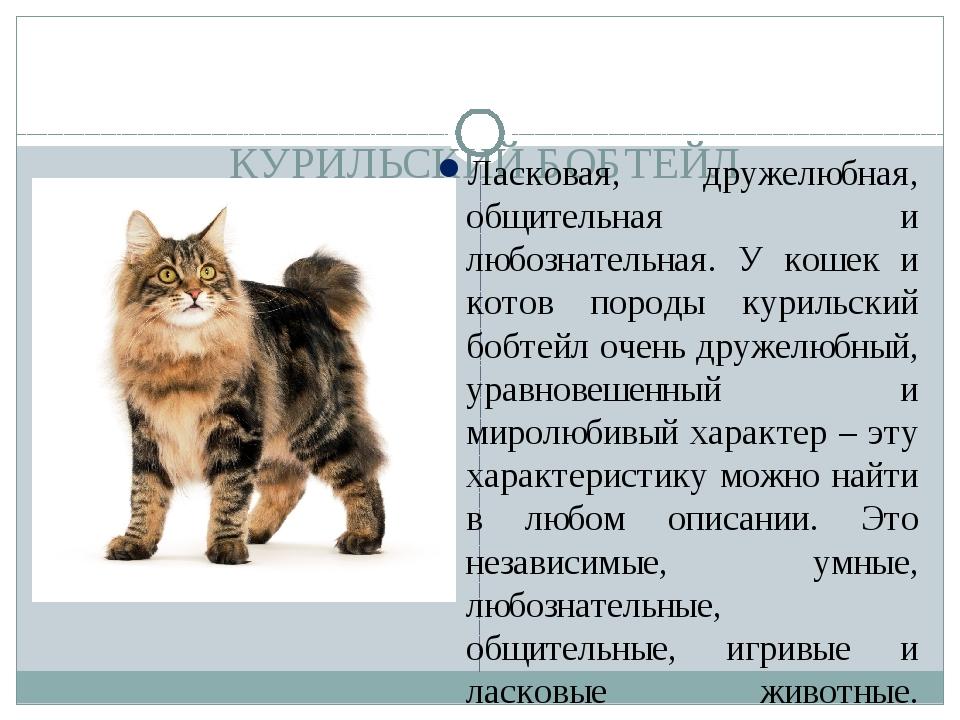 Курильский бобтейл кошка фото, отзывы владельцев, цена котят, описание породы