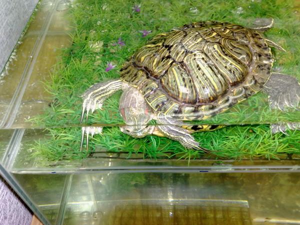 Все о спячке у красноухих черепах