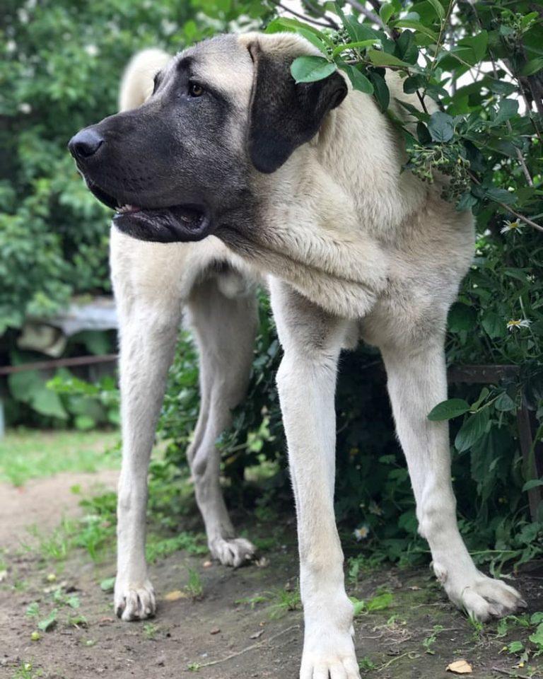 Кангал — порода собак