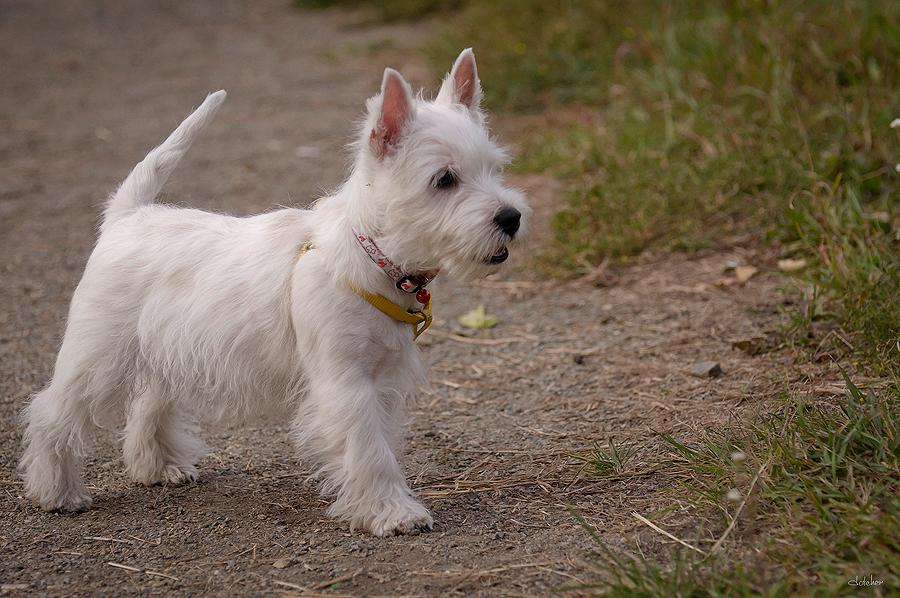Плюсы иминусы породы собак вест-хайленд-уайт-терьер: озорной малыш с«игрушечной» внешностью