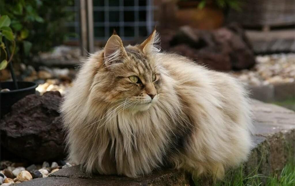 Норвежская лесная кошка - характер, уход, питание и болезни породы