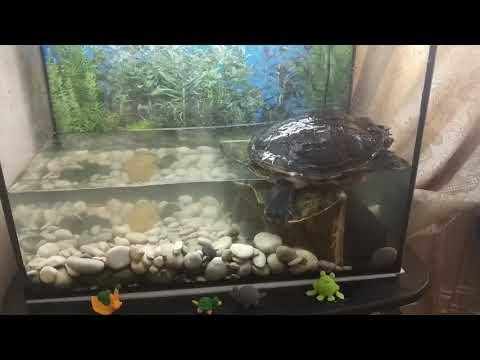 ᐉ какая вода нужна красноухой черепахе, сколько наливать в аквариум при содержании в домашних условиях - zoopalitra-spb.ru