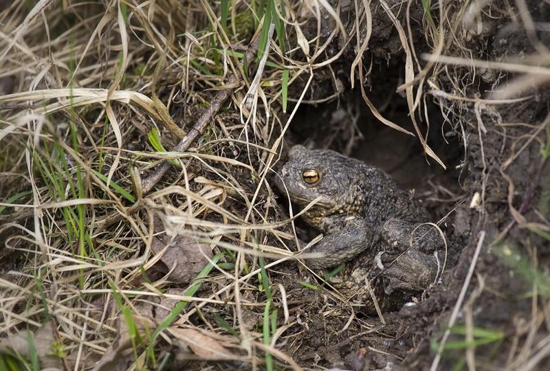 Зеленые лягушки: озерная, прудовая и съедобная. озерная лягушка = rana ridibunda pallas, 1771. мир земноводных: жабы квакши, лягушки, тритоны: икра, размножение, поведение, питание, охота, зимовка