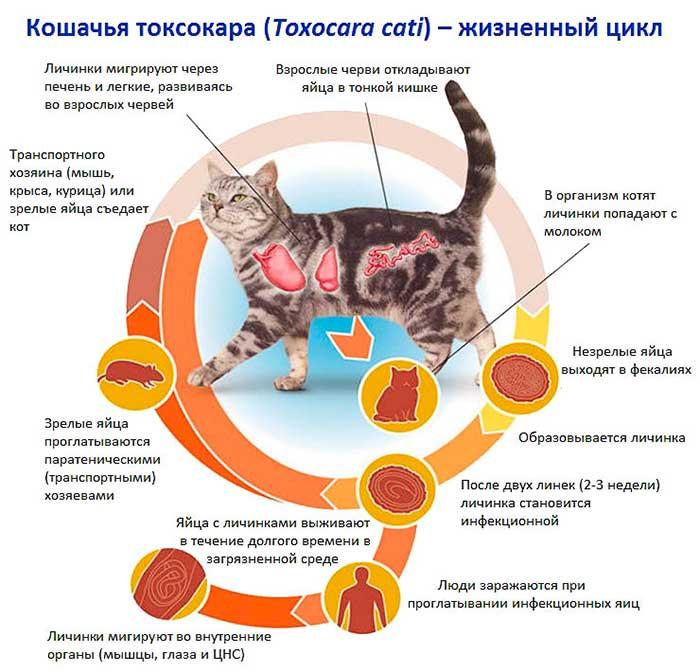 Болезни кошек опасные для человека: полный список
