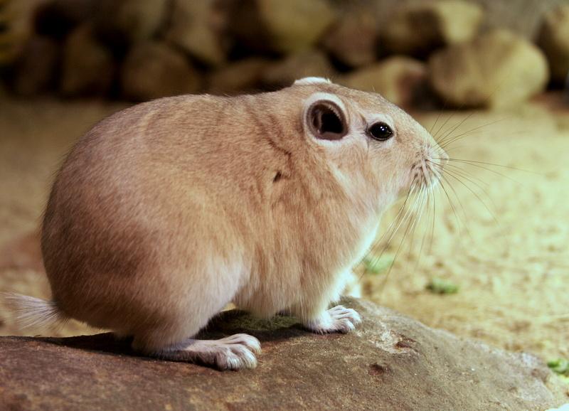 Обыкновенный гунди - common gundi - abcdef.wiki