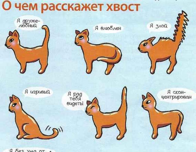 Как кошка требует внимания: 7 кошачьих способов | hill's pet