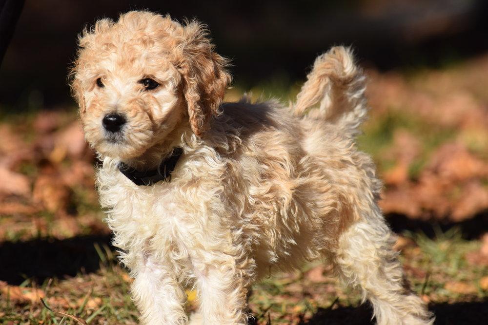 Гипоаллергенные собаки: какие породы не вызывают аллергию у людей списком с фотографиями и названиями - маленькие, самые лучшие для астматиков и детей?