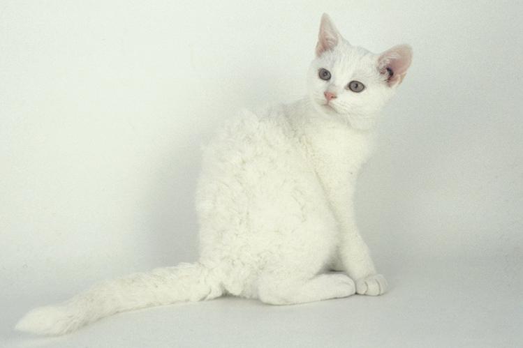 Американская жесткошерстная кошка: описание породы, цена