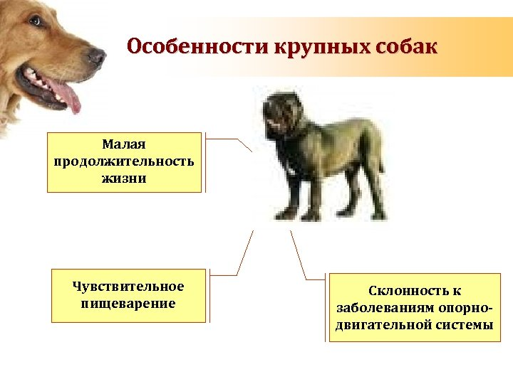 Порода собак алабай — описание породы