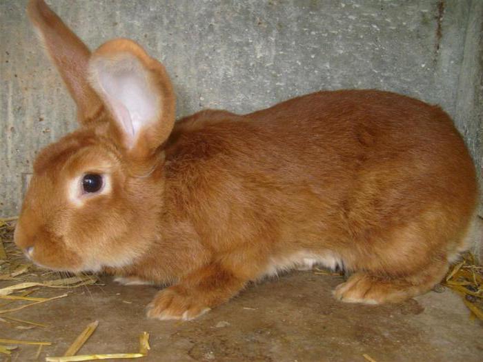 Бургундские кролики — характеристики породы, особенности содержания