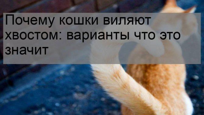 Кошка поднимает хвост, когда вы ее гладите