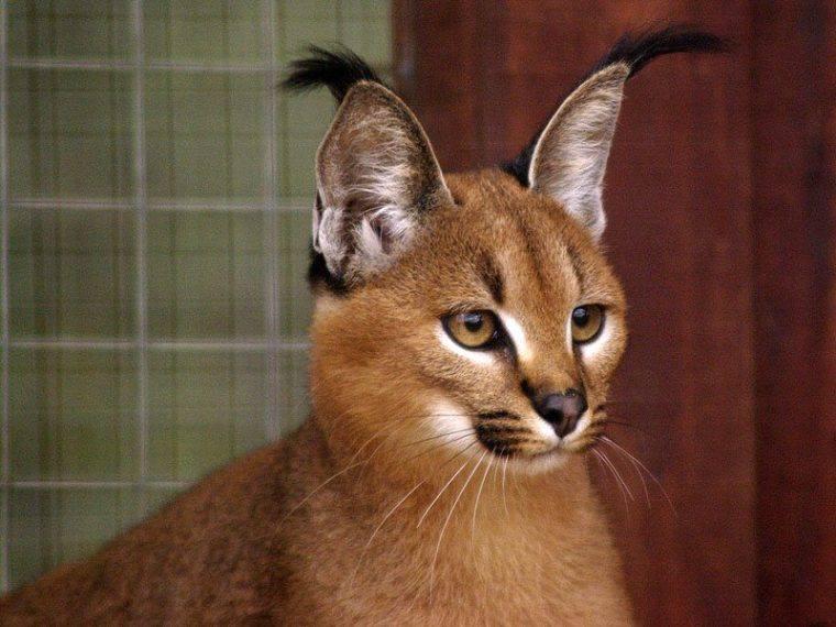 Кошки, похожие на рысь (41 фото): описание пород домашних котов. содержание котят с кисточками на ушах