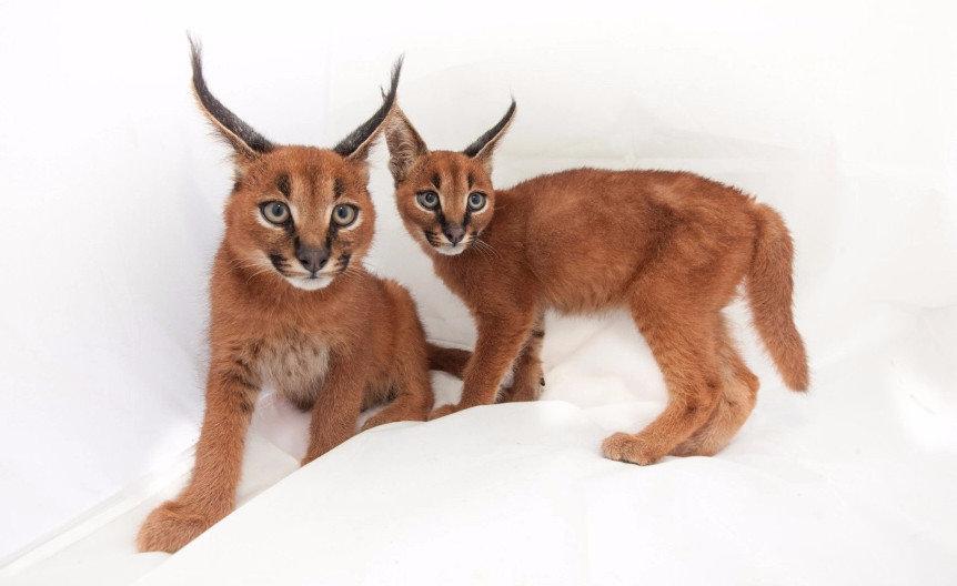 Кошка похожая на рысь: породы с фото
