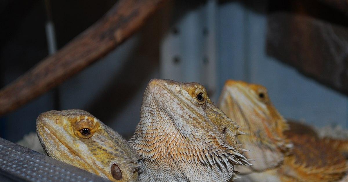 Бородатая агама особенности содержания домашнего дракона