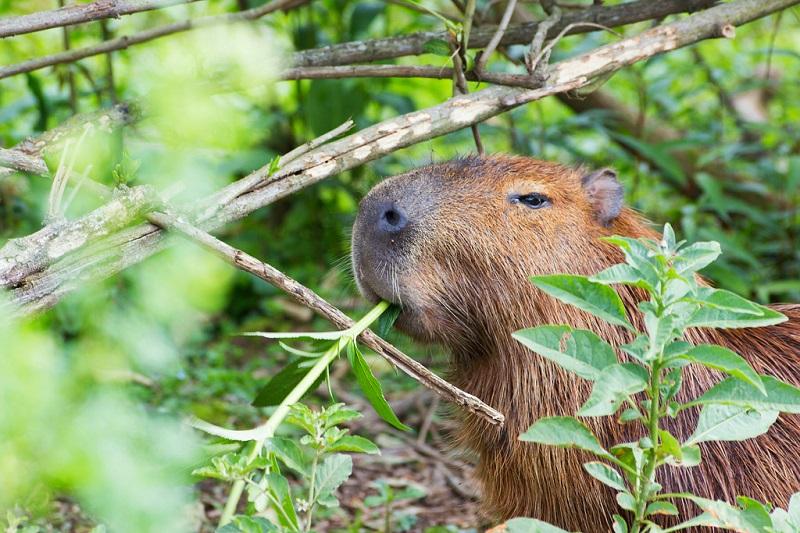 Капибара животное. описание, особенности, виды, образ жизни и среда обитания капибары