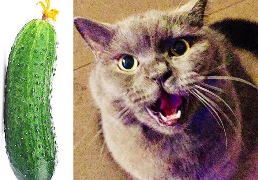 Почему коты боятся огурцов – вся правда о «кошачьей» психологии