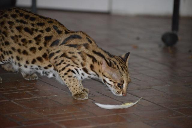 Фото азиатской леопардовой кошки, описание внешности, характера и образа жизни дикого животного