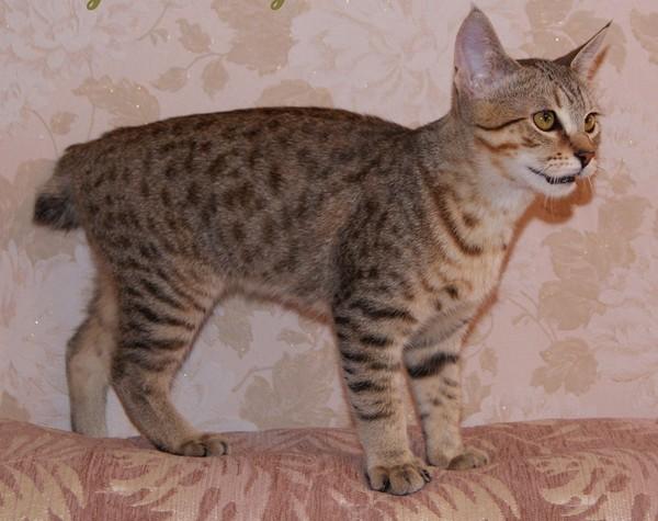 Породы кошек которые похожи на рысь.