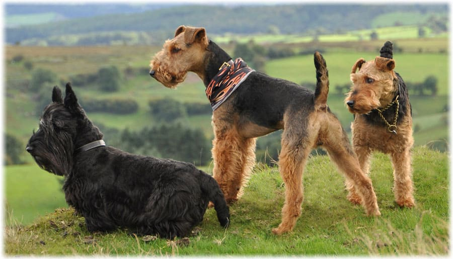Декоративные собаки: 20 лучших пород с названием, описанием и фото