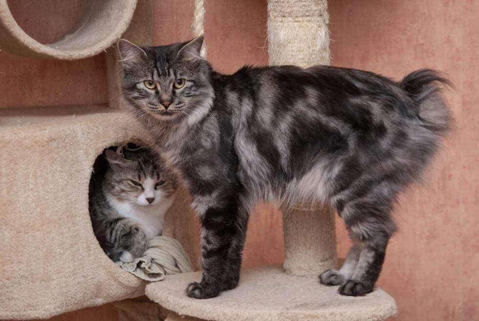 Курильский бобтейл или «кошка без хвоста». описание породы, фото