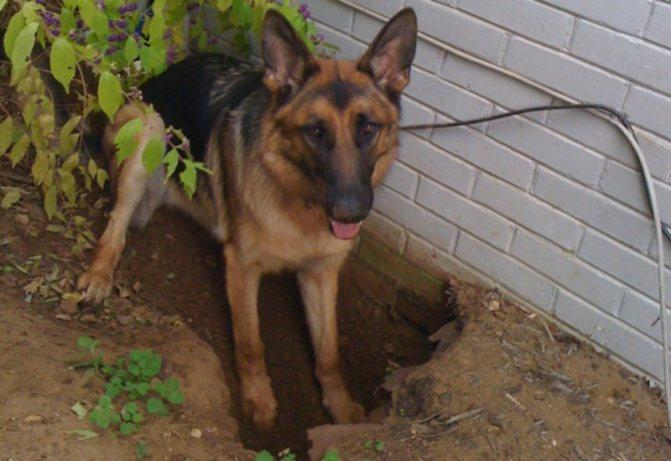 Как отучить собаку рыть ямы во дворе. к чему собака роет яму? почему собака роет ямы во дворе – приметы