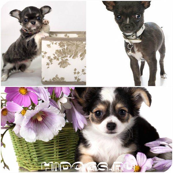 Особенности и правила ухода и содержания самой мелкой собаки в мире — чихуахуа