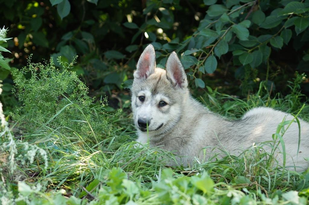 Западно-сибирская лайка собака. описание, особенности, уход и цена породы   живность.ру