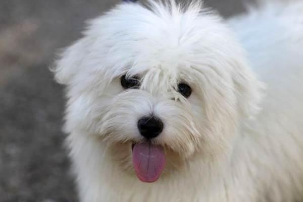 Котон де тулеар собака. описание, особенности, виды, уход и цена породы | живность.ру