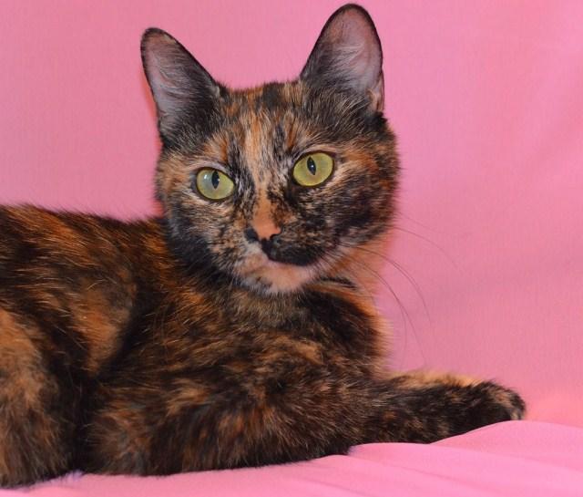Табби - окрас кошек: виды, описание пород, сложности разведения котов с таким рисунком