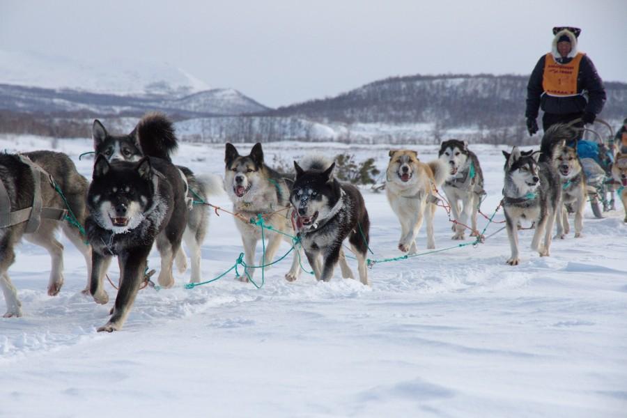 Северные ездовые собаки: описание пород