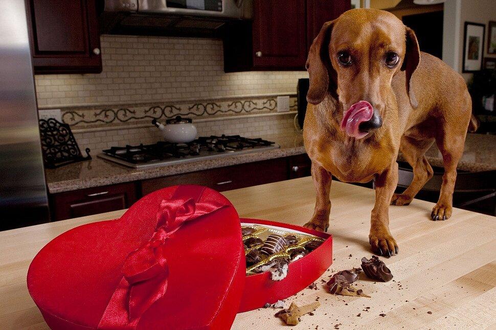 Можно ли собакам шоколад? почему собакам нельзя шоколад?