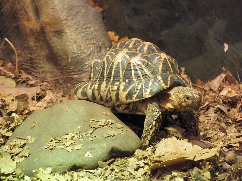 Звездчатая черепаха. индийская звездчатая черепаха (geochelone elegans) звездная черепаха