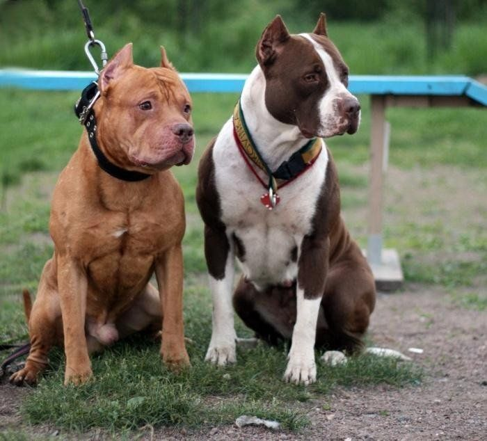 Бойцовые собаки: особенности и виды