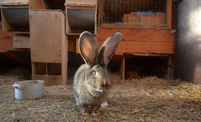 Разведение кроликов породы фландр (бельгийский великан)