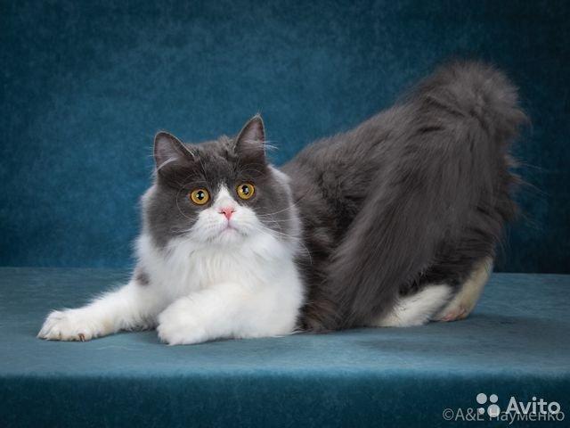 Питомник мурмулет — о породе наполеон история выведения кошки породы наполеон котята питомника наполеон в москве