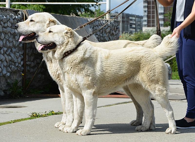 Среднеазиатская овчарка: особенности ухода и содержания, самая крупная порода собак, история и фото