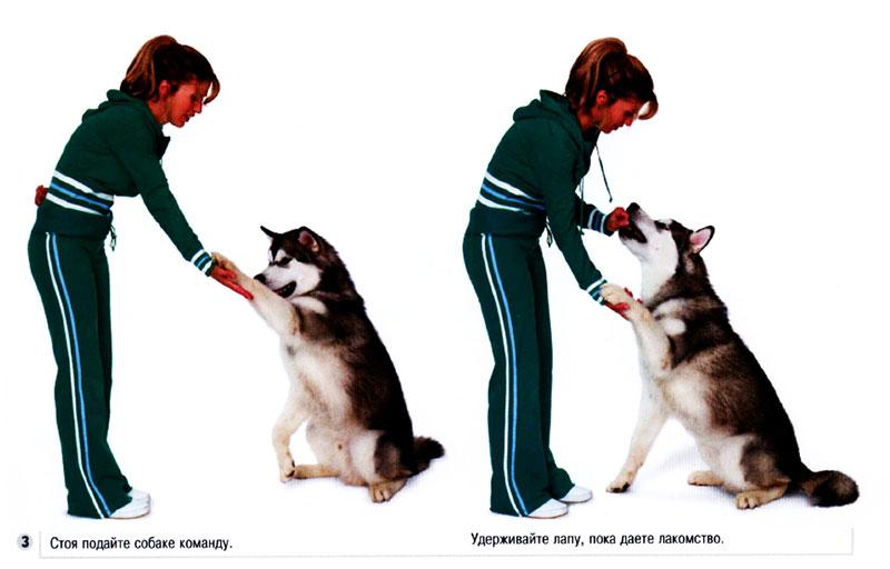 Как научить собаку команде «сидеть!»