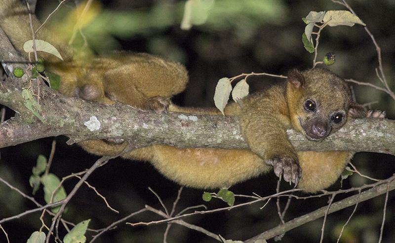Описание кинкажу и его жизнь в дикой природе | все о животных