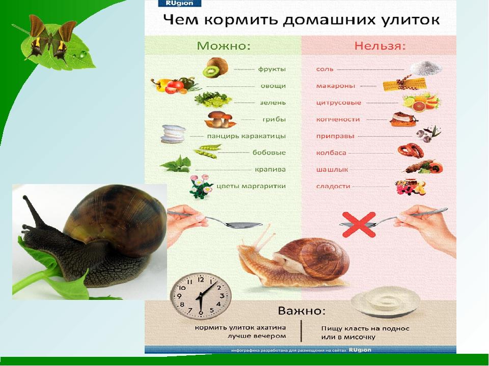 Чем кормить виноградных улиток в домашних условиях - список продуктов
