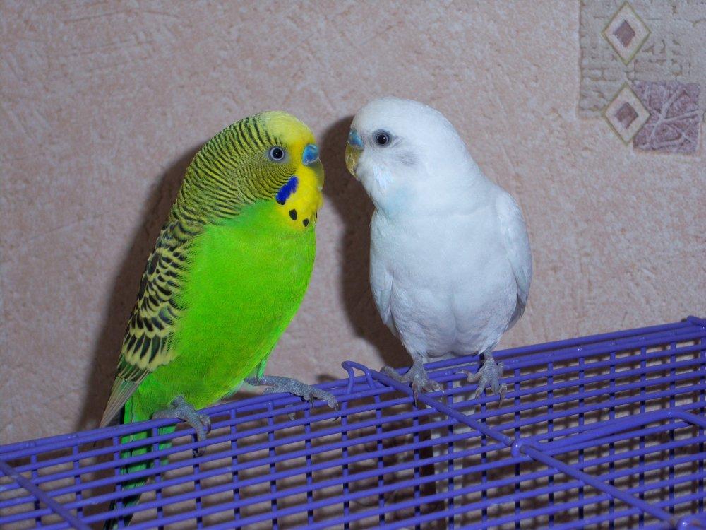 Как правильно выбрать подходящего волнистого попугая