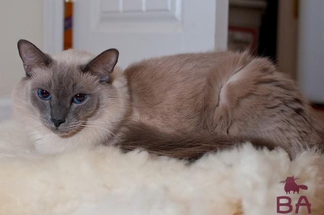 Балинезийская кошка: описание породы, уход за питомцем в домашних условиях